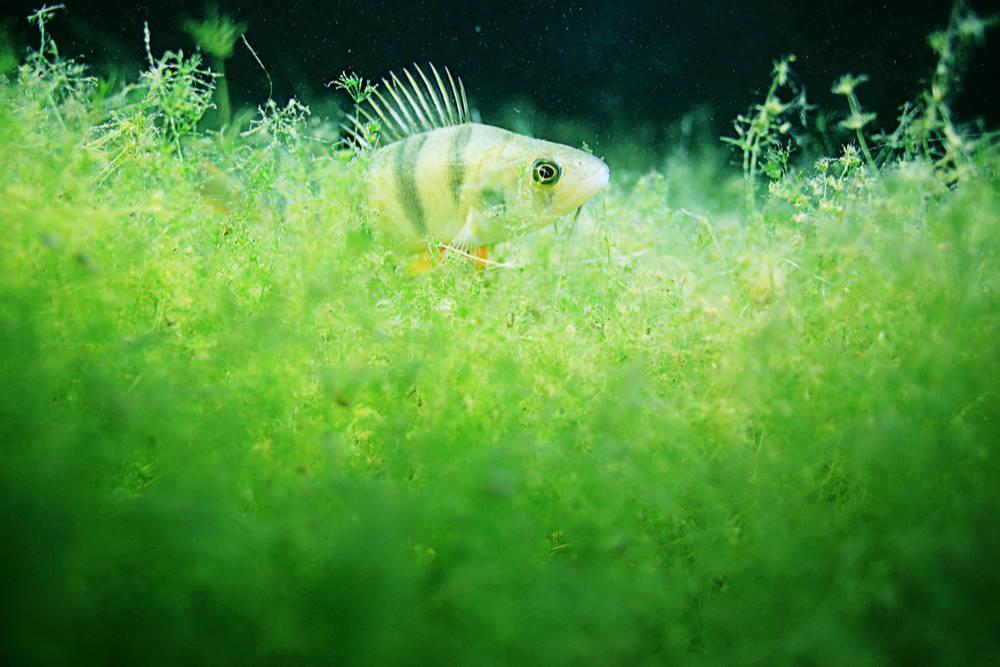 fish-in-algae-omega-3-dha-epa- from-algae
