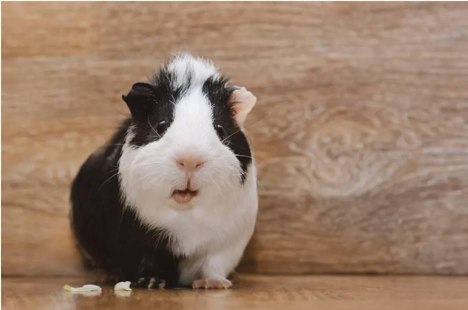 guinea pig supplies smallpetselect