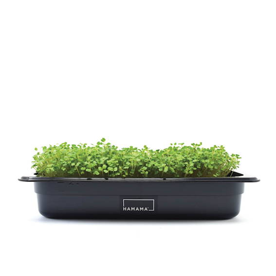 Fully grown homegrown arugula microgreens in a grow tray.