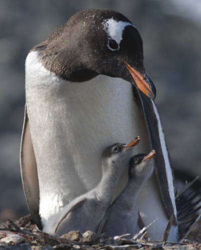 Penguins and their chicks are under threat due to human impact