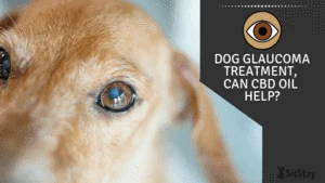 Dog Glaucoma Treatment, Can CBD Oil Help?
