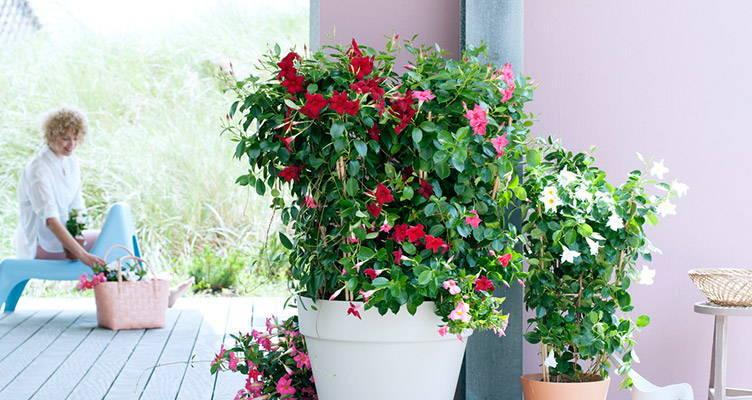 Plante de jardin : le mandevilla
