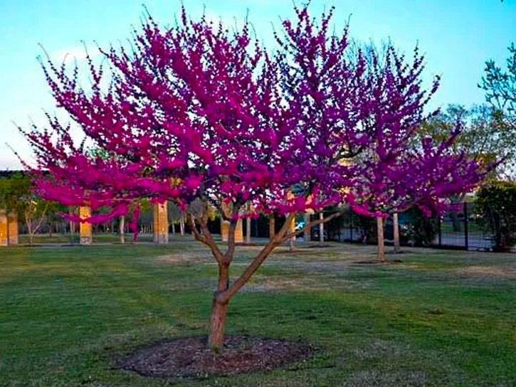 Redbud Tree Varieties Plantingtree Com