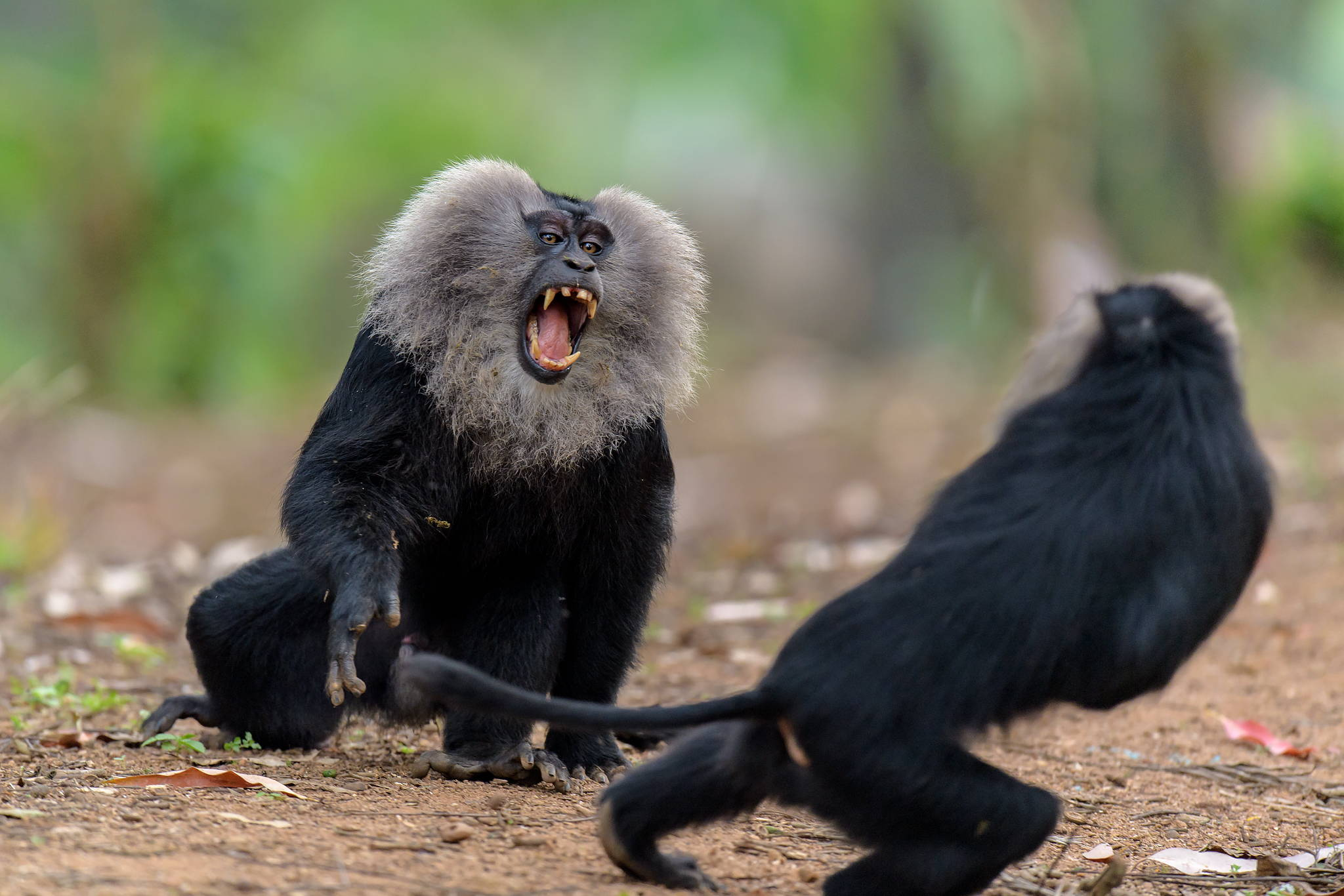 Lion Tailed Macaque of India Wildlife photography tour and expeditions