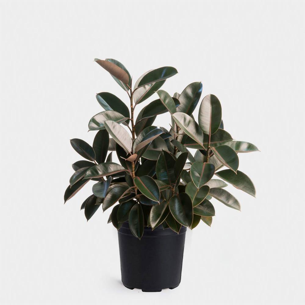 Rubber Plant aka Ficus Elastica Care Guide