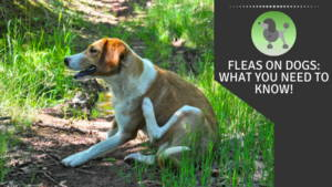 Fleas on dogs: what you need to know