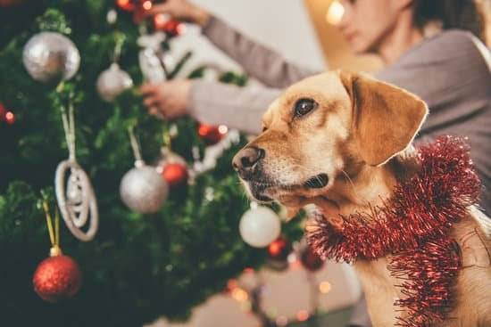 A Labrador Retriever standing by his owner as they hand ornaments on the tree