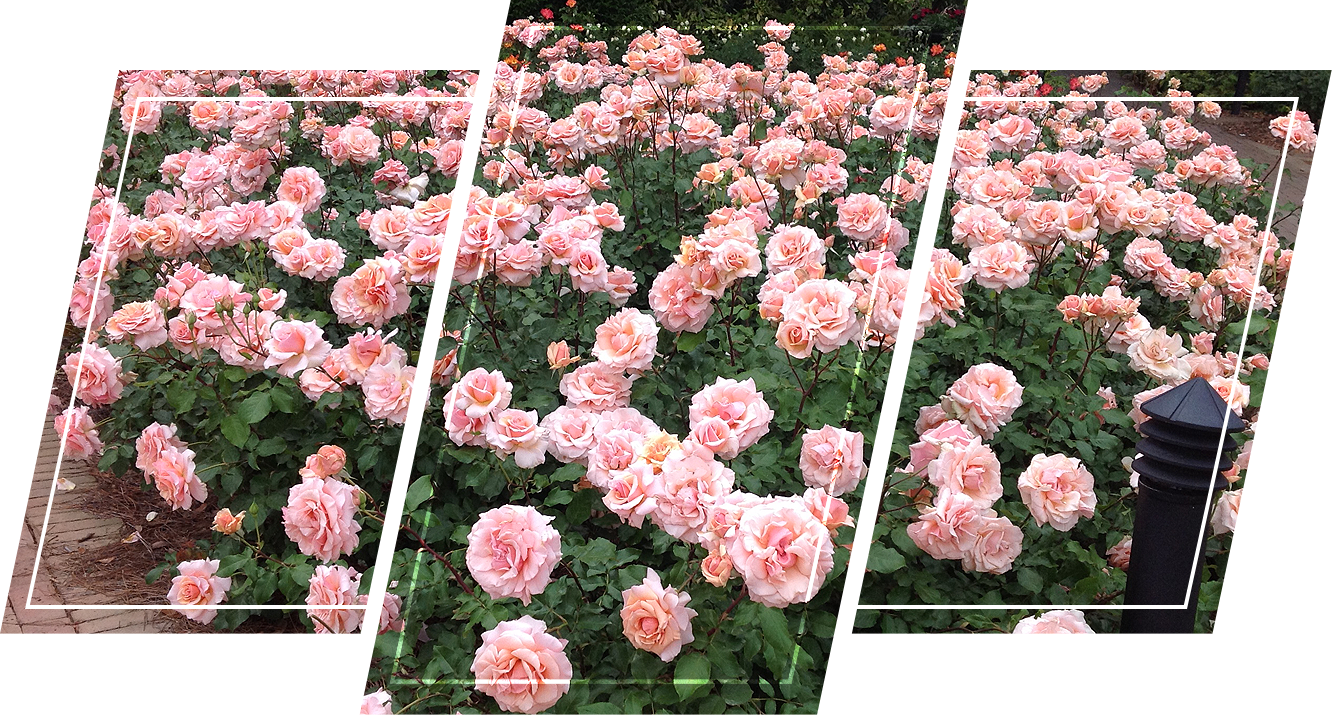 A beautiful garden full of roses