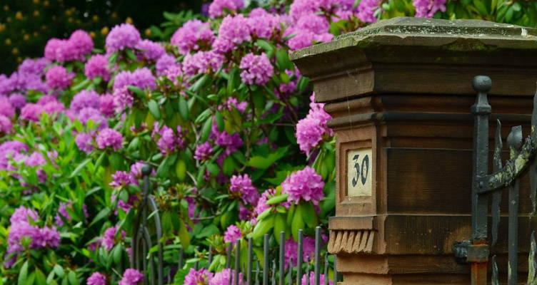 Snoeien Rhododendron