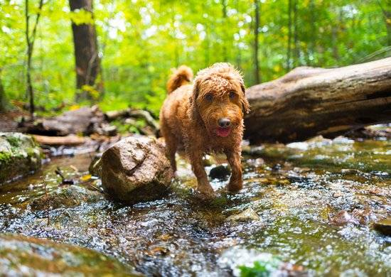 A brown dog walking through a stream in a green forest.