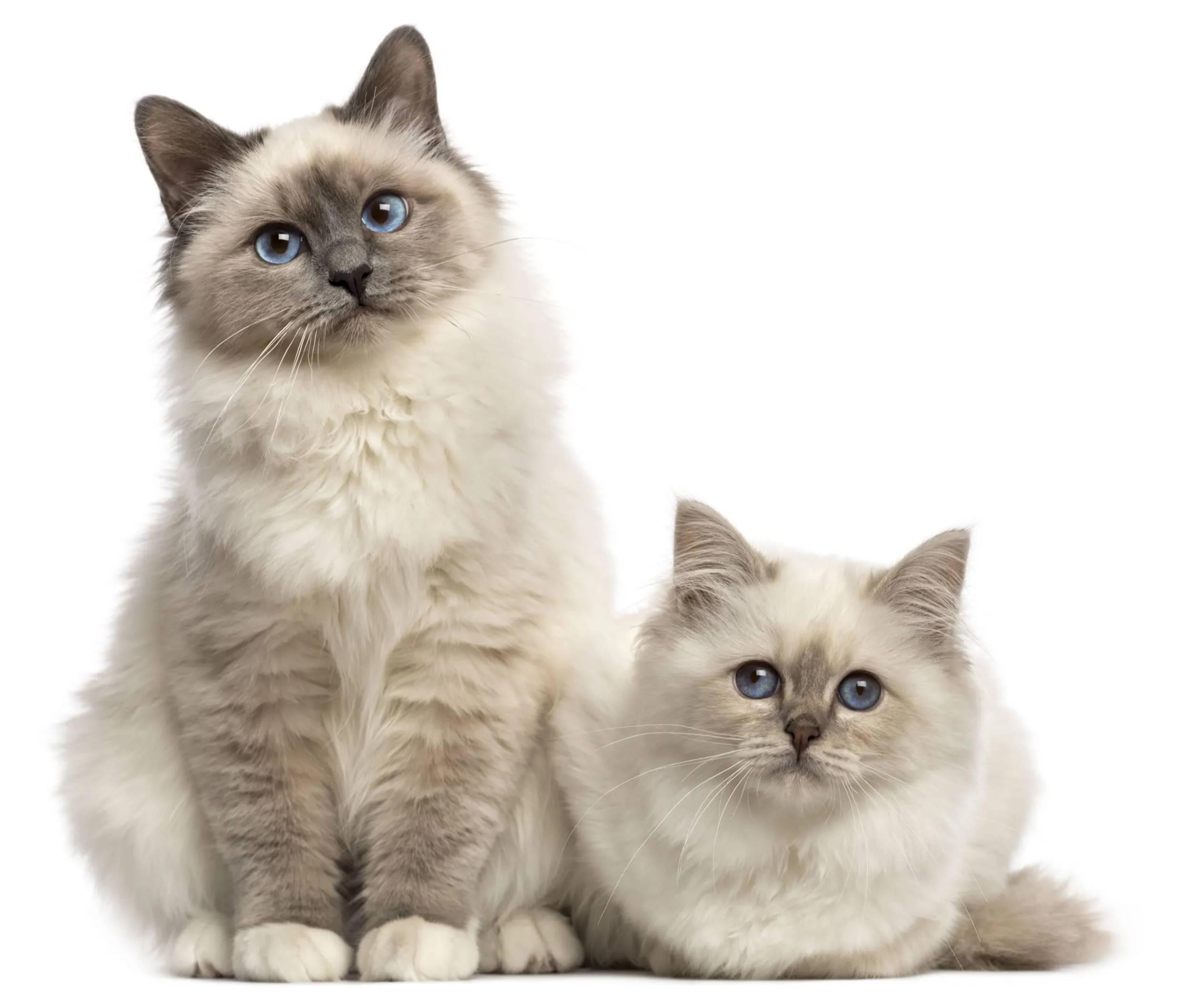 Zwei Birma Katzen