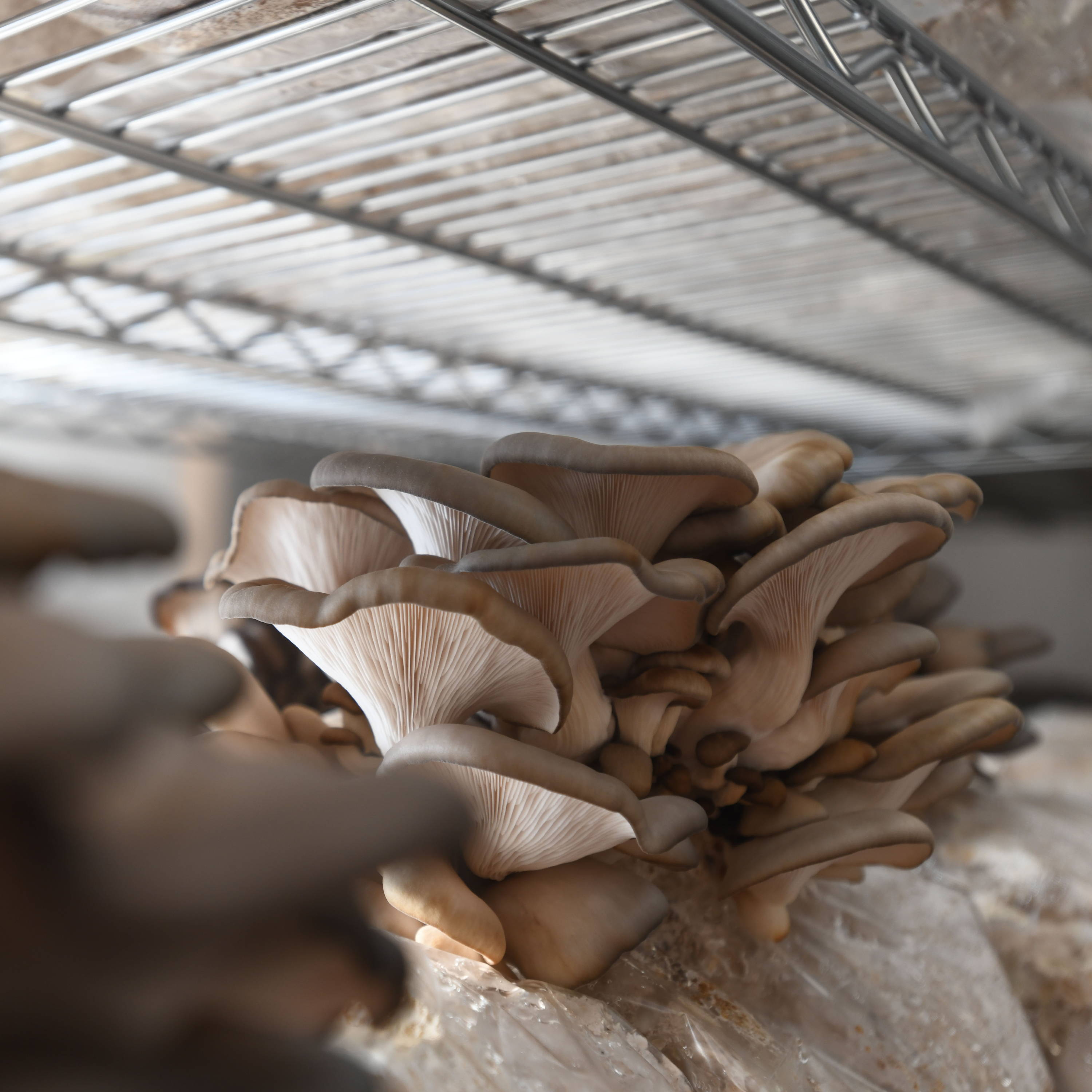 Oyster mushrooms growing in fruiting room