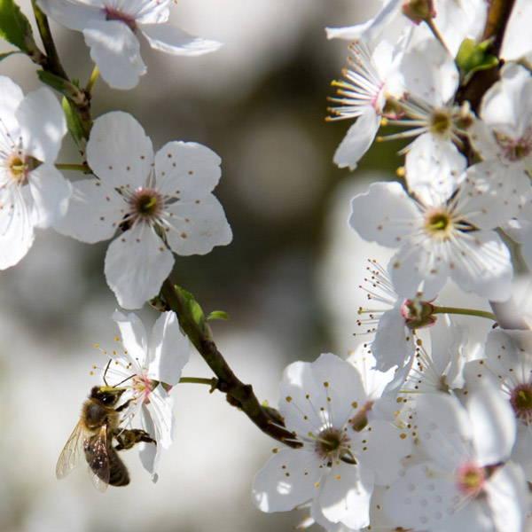 white-flower-bee-purebee