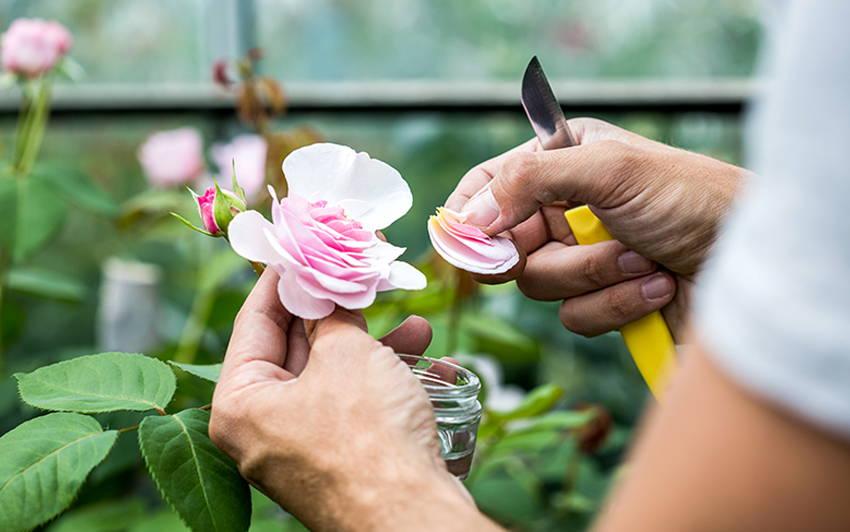 Hybridisation Step 1 - Removing petals off a rose