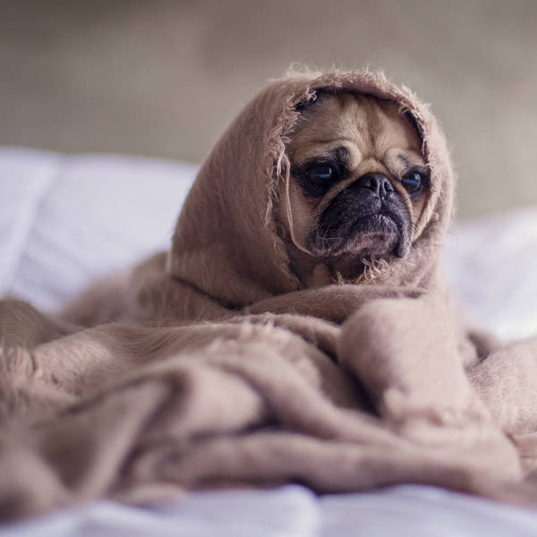 Pug puppy dog ​​wrapped in blanket on the bed