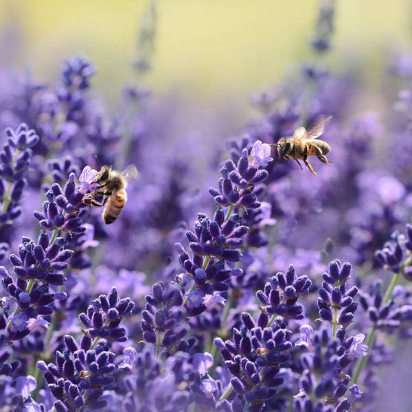 Lavender field with bees buzzing around