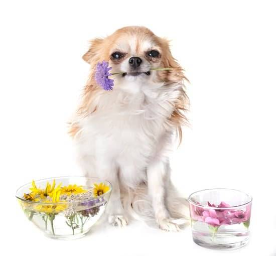 A brown and white chihuahua holding a purple flower in his mouth. Sitting next to two bowls of yellow flowers and pink flowers.