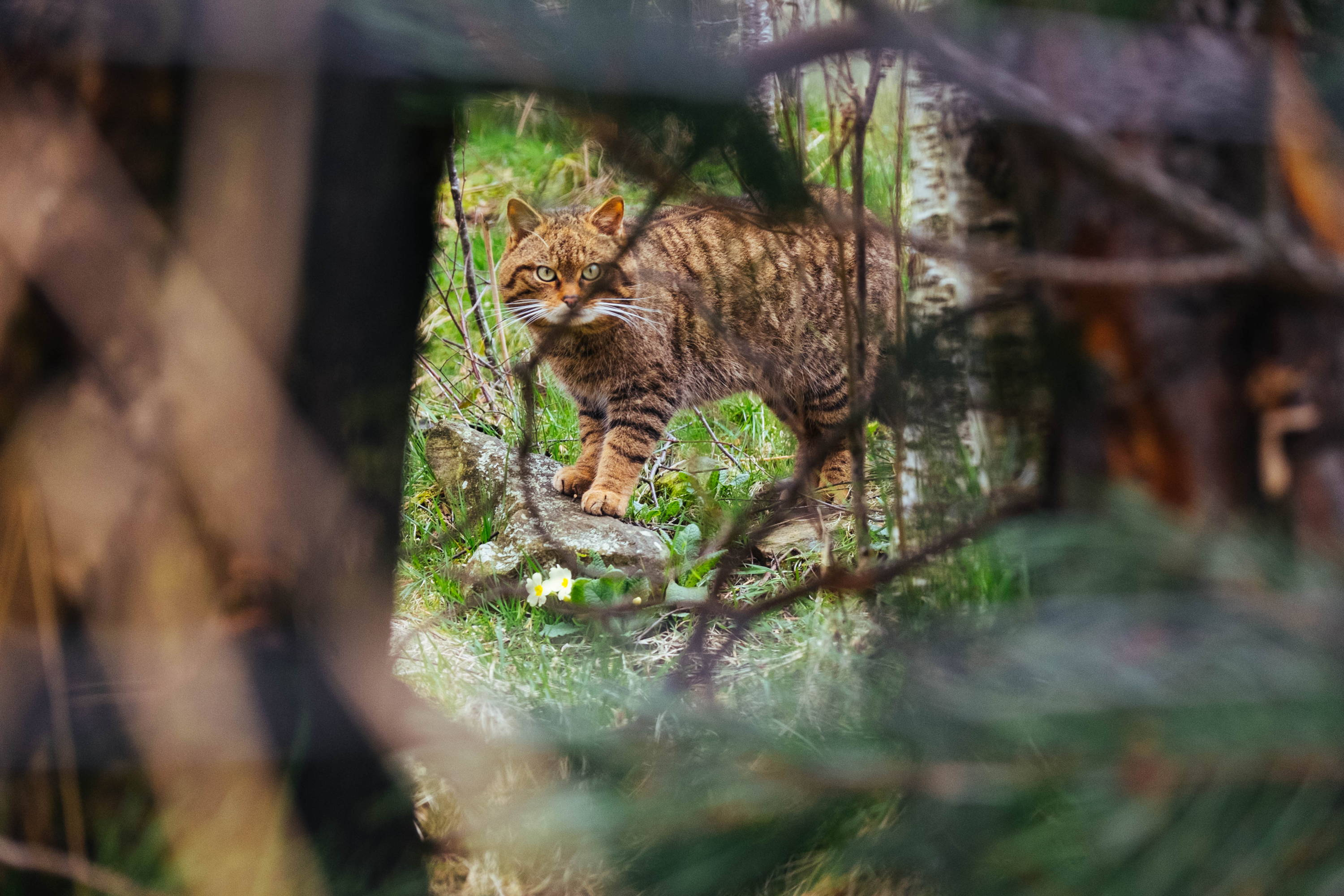 A wildcat stands among the primroses and pears through a gap in the trees