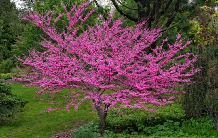 redbud trees for sale