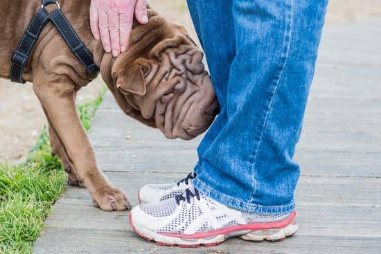 A brown sharpei dog sniffs a person's leg as they pet it