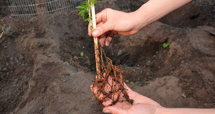 Plants à racines nues
