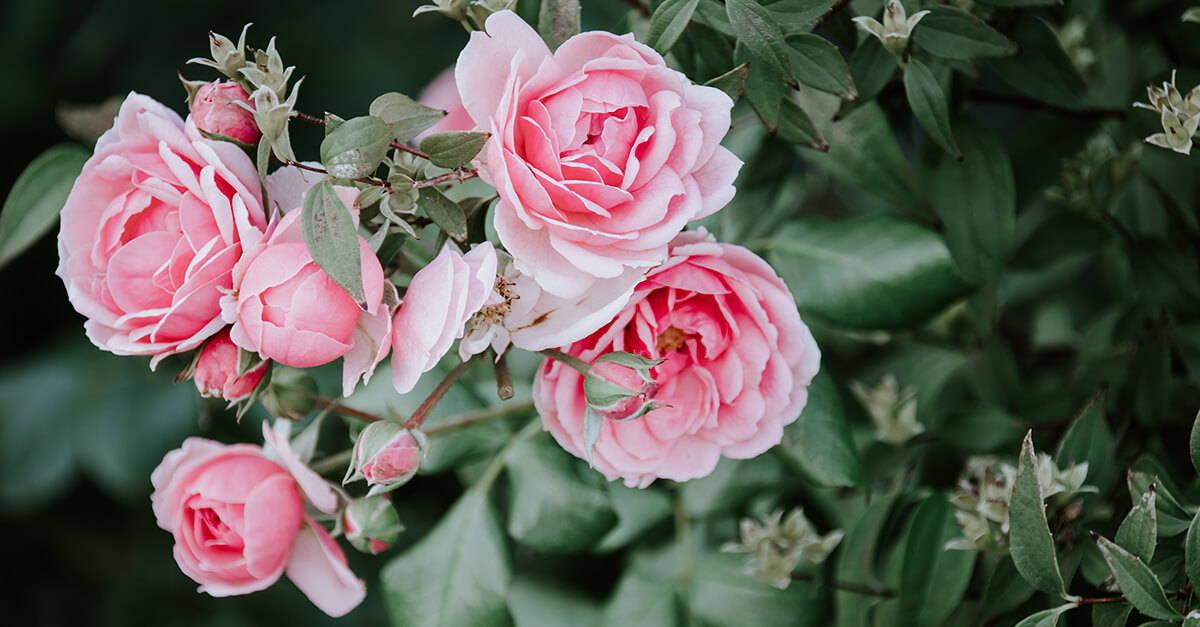 Rosenblütenhydrolat – Feuchtigkeit für müde Haut