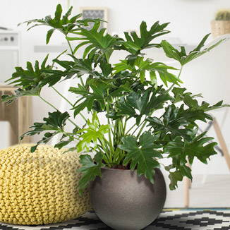 Le philodendron polyvalent