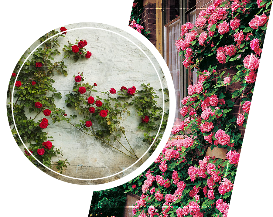 Climbing roses in the wall