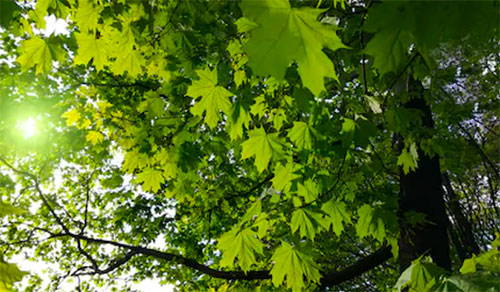 How to Care for Maple Trees: Site, Soil, and Sunlight