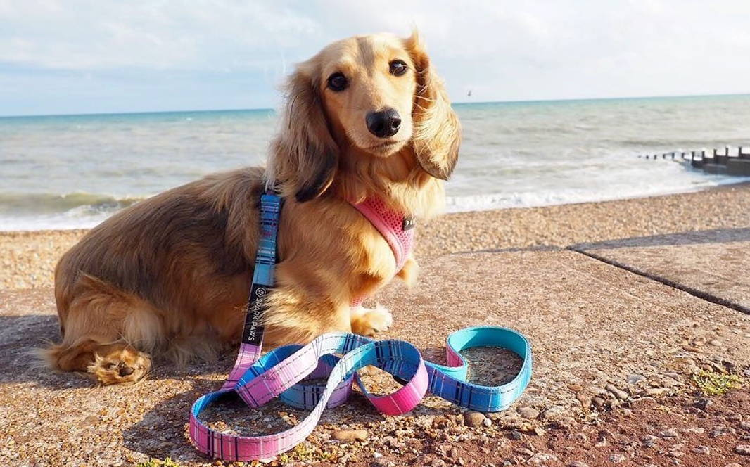 dog at the beach with leash