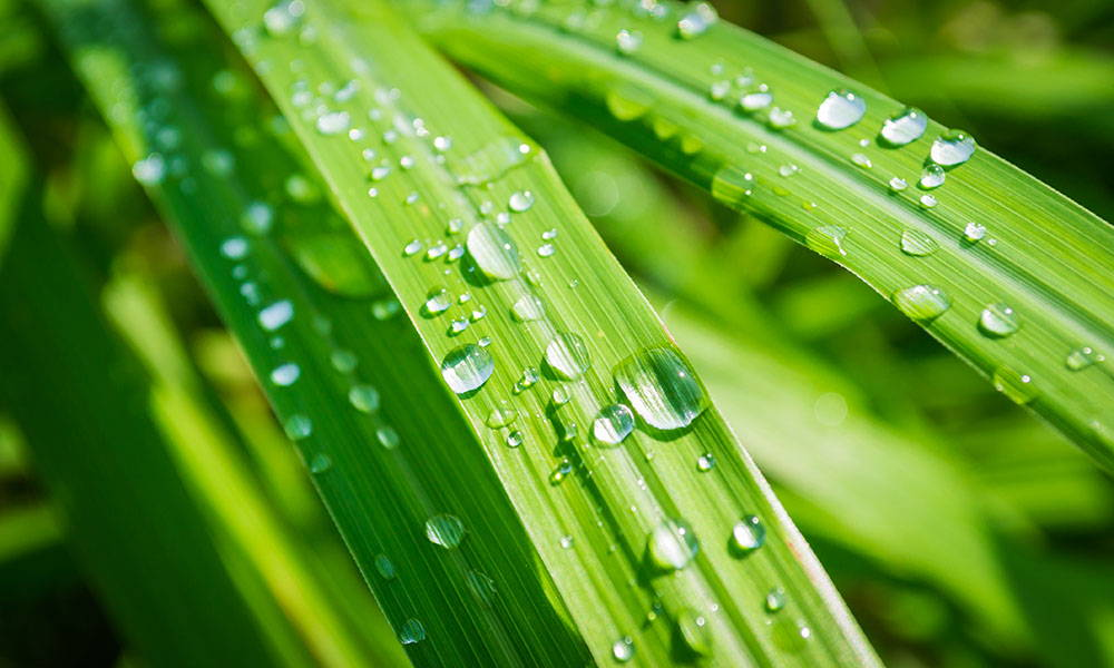 The Rare Lemongrass Essential Oil that Doesn't Irritate the Skin