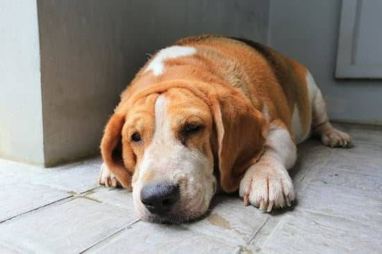 an overweight brown and white dog laying on tile floor