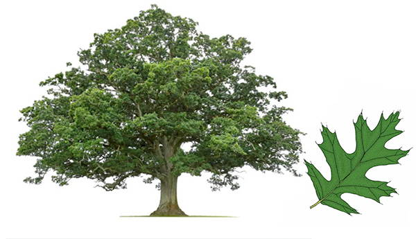 Best Shade Trees Best Selling Shade Trees Plantingtree Com