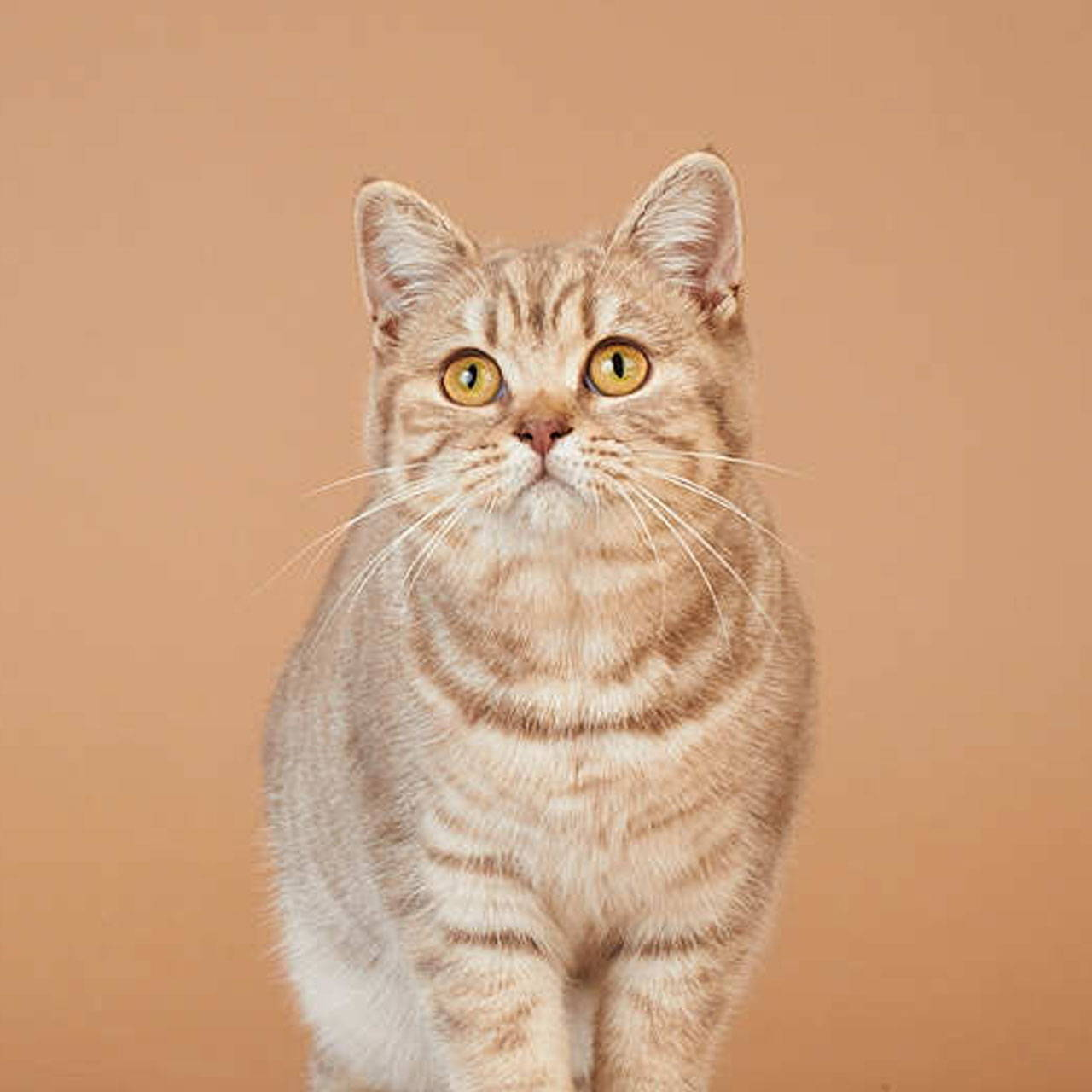 Lilly the British Shorthair
