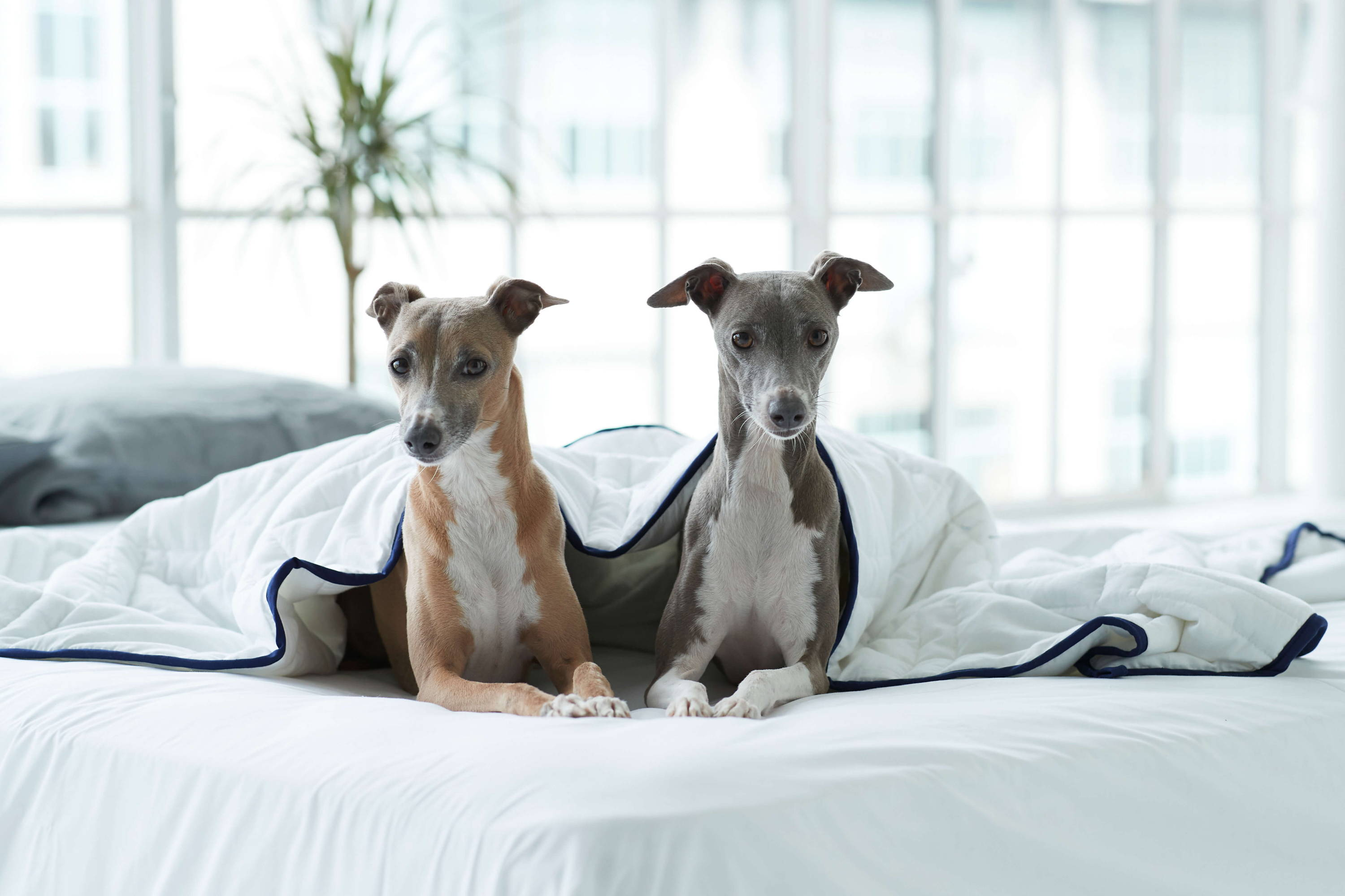 Two cute whippet dogs in Groundd Weighted Blanket nz without cover