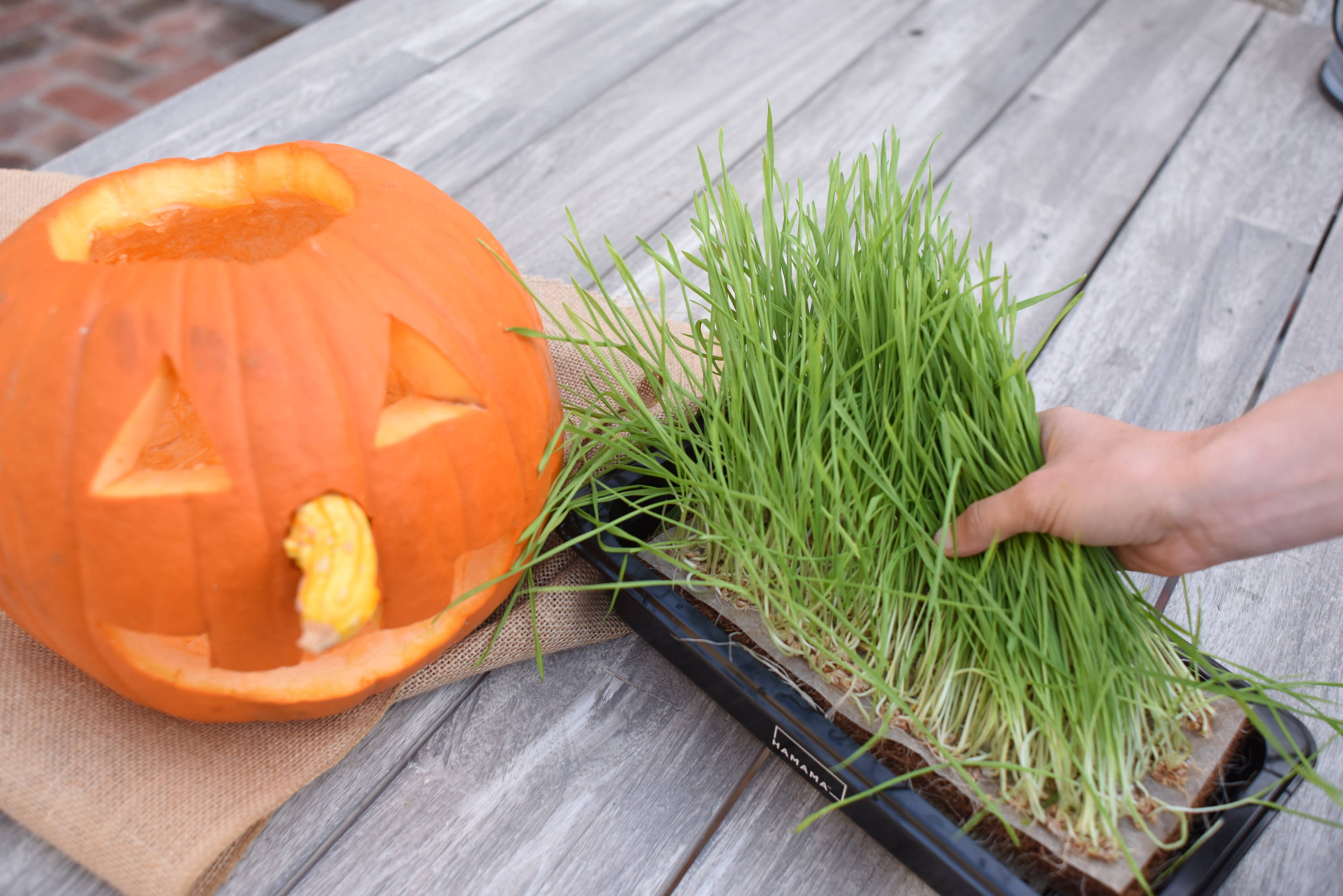 Fully grown homegrown wheatgrass in a grow tray next to a carved pumpkin jack-o-lantern.