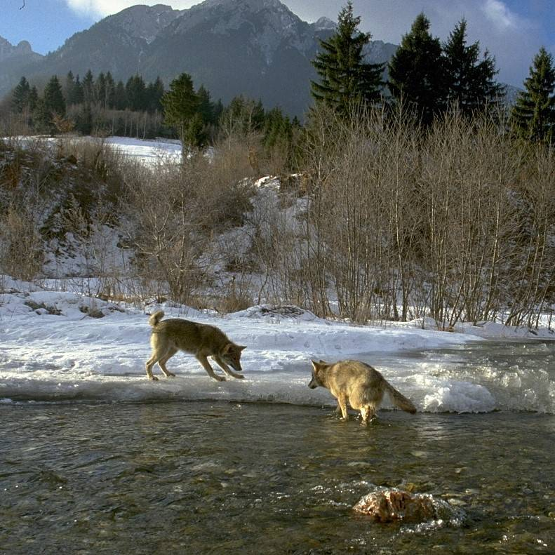 Two wolves play in a river