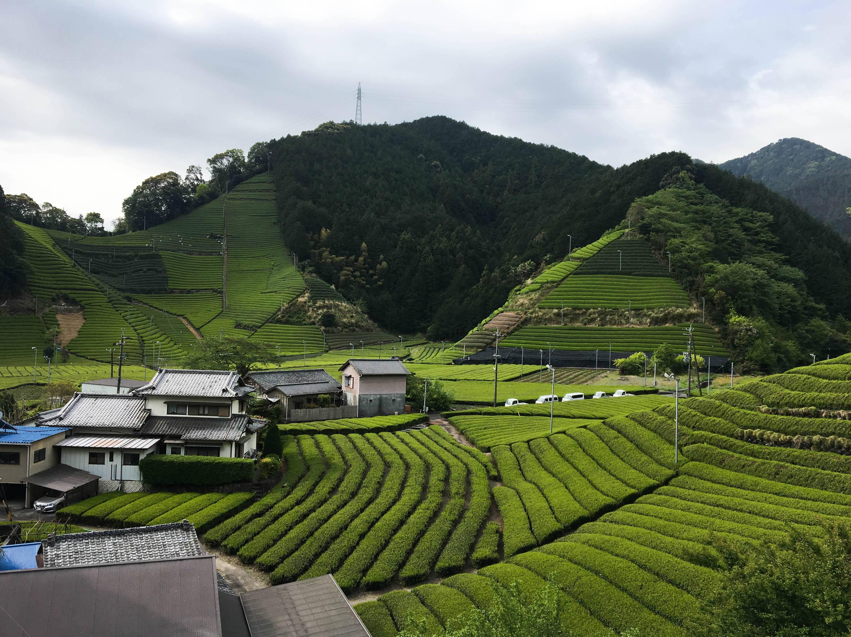 Tea fields in Shizuoka, Japan