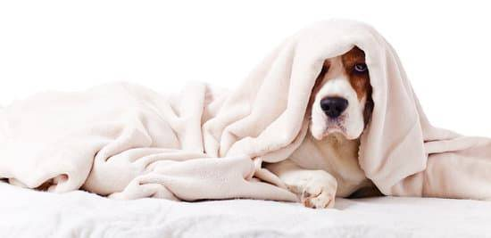 A brown and white dog lying on a bed under a white blanket