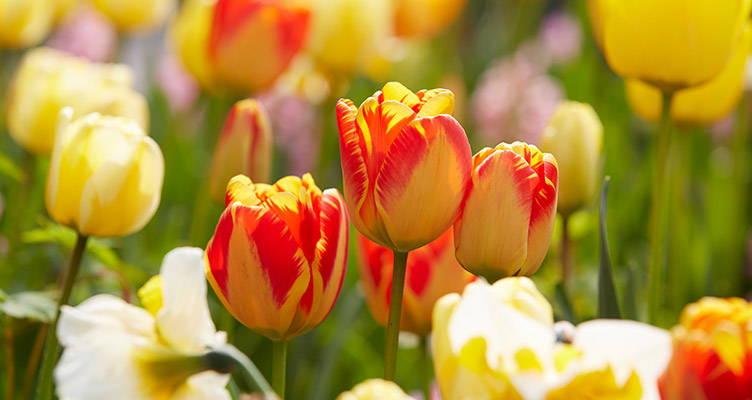 Tulpen pflegen