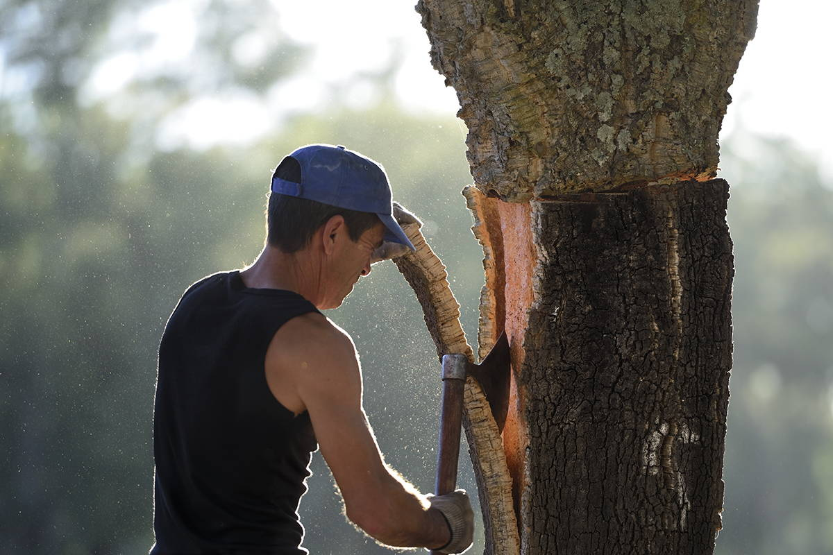 Man harvesting cork tree