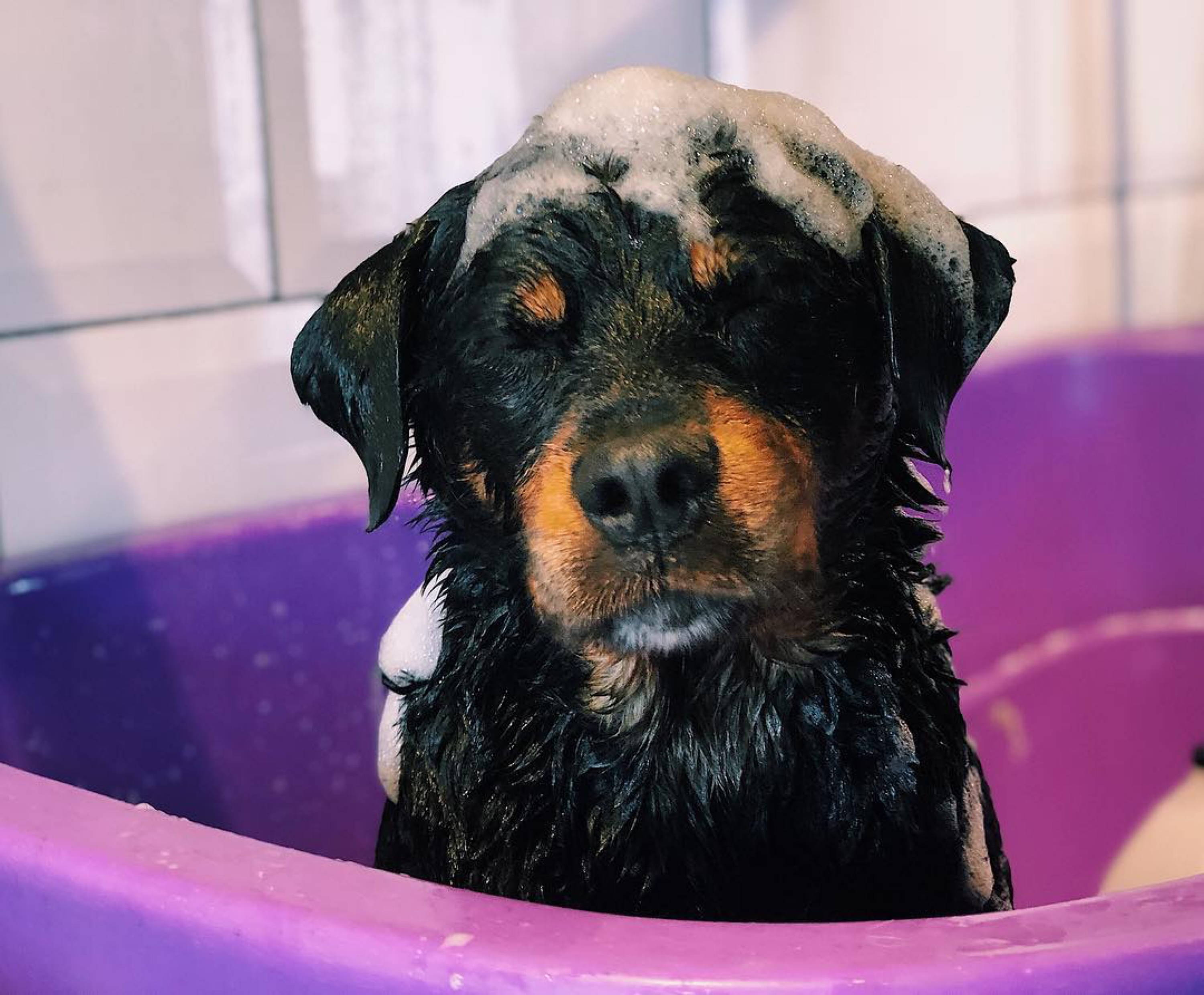 rottweiler puppy taking a bath in kiddie pool