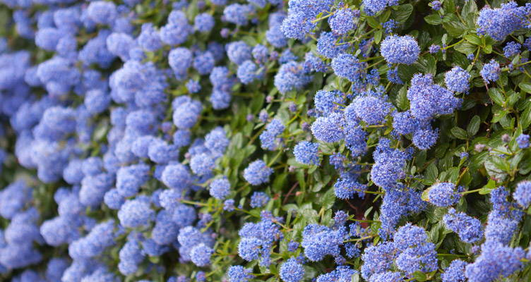 Pruning California Lilac
