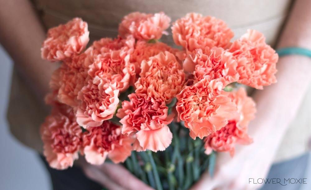 apricot carnation flower