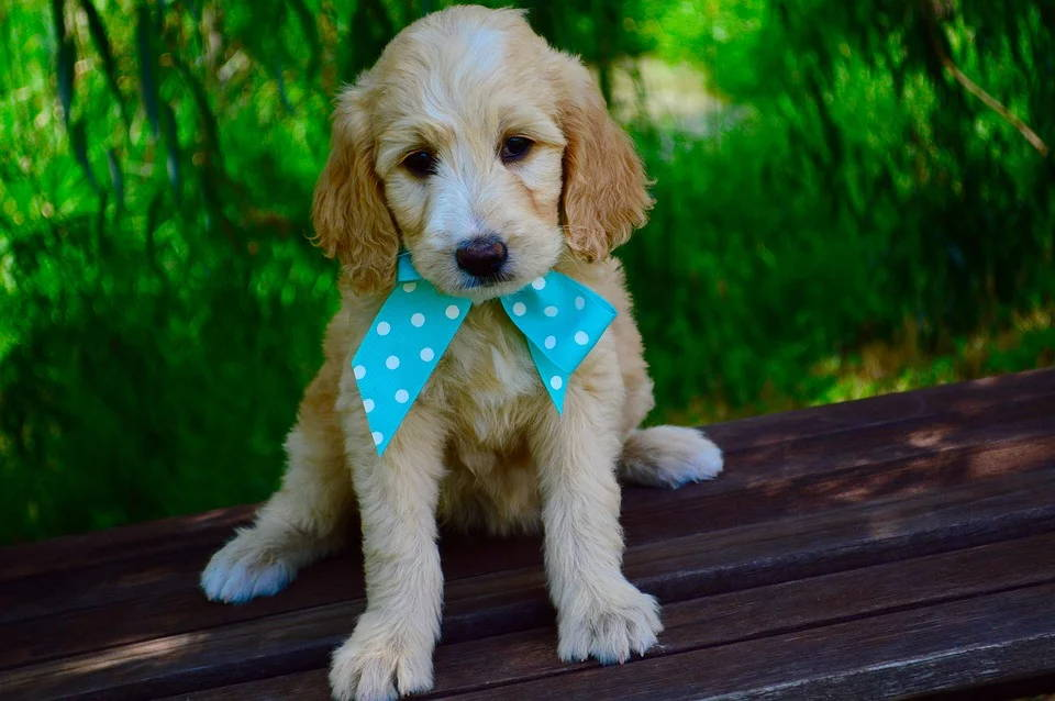 learn all about mini goldendoodles