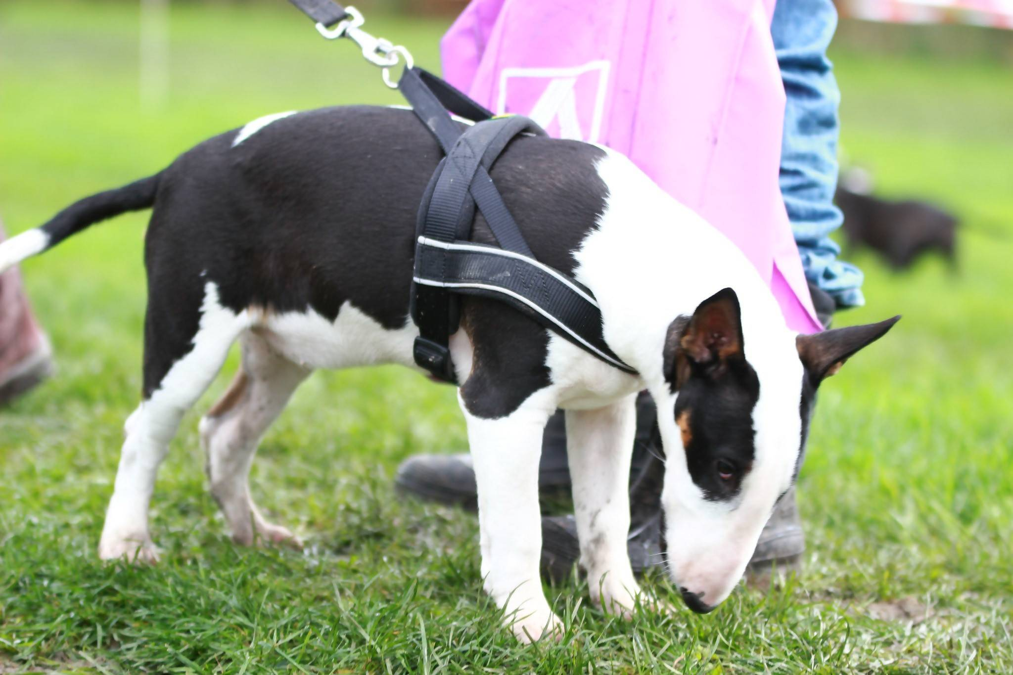 A bull terrier wearing a standard dog harness