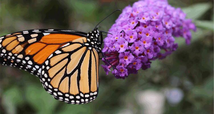 come potare l'arbusto delle farfalle