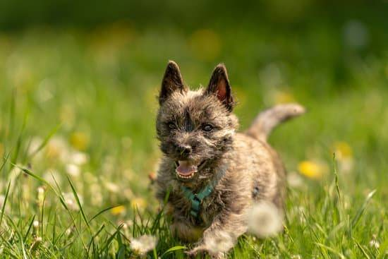 a brown cairn terrier running through a field on  a sunny day