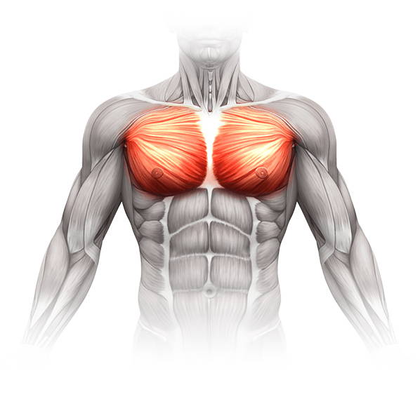 photo of the pectoralis muscles