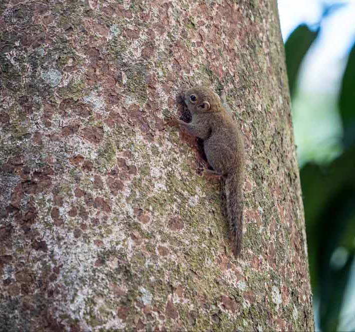 Travelbay Borneo Tours - Customer Reviews - Simon Collard - Danum Valley - Pygmy squirrel